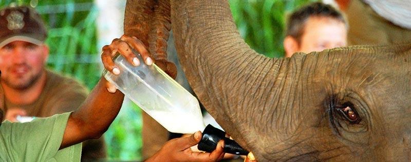 Bottle feeding of Milk to the baby elephants