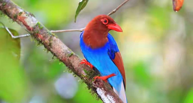 Blue Magpie in Sinharaja