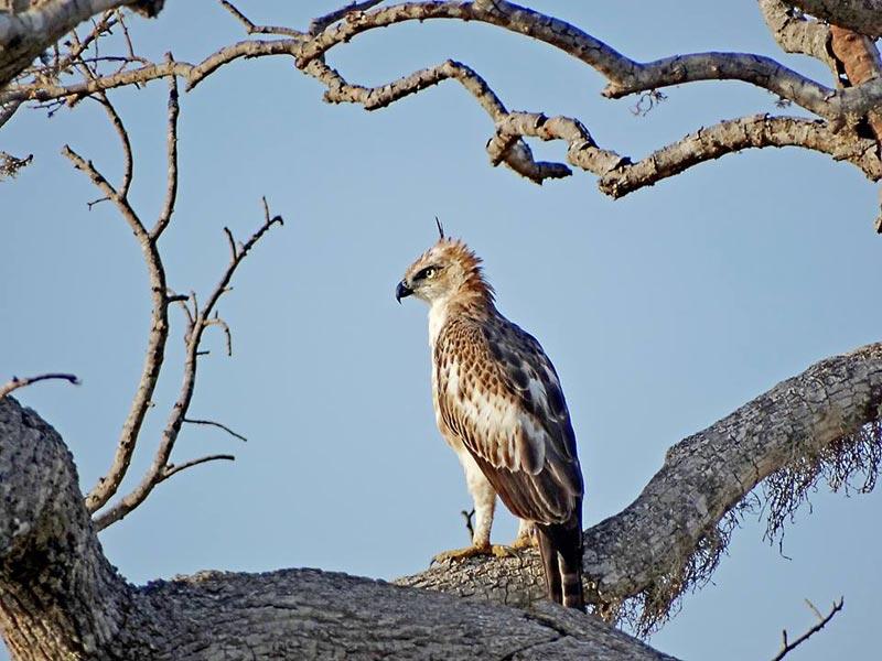 Crested Eagle in Udawalawe