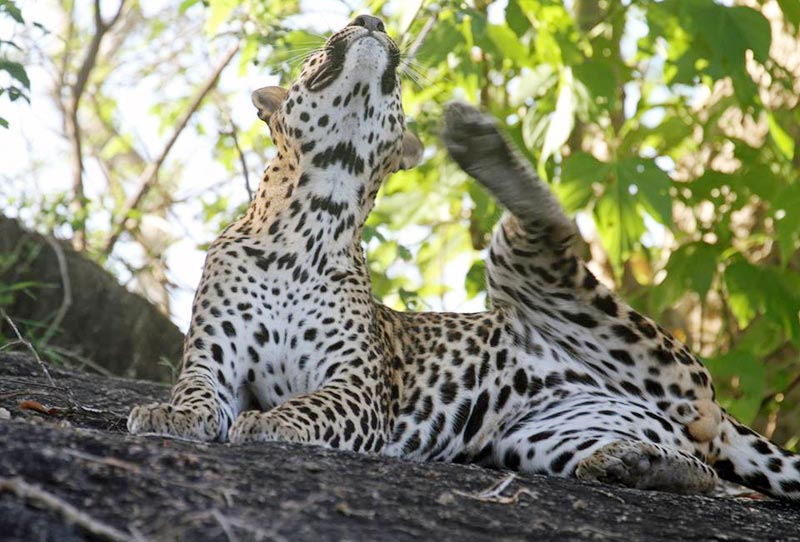 Leopard at Yala