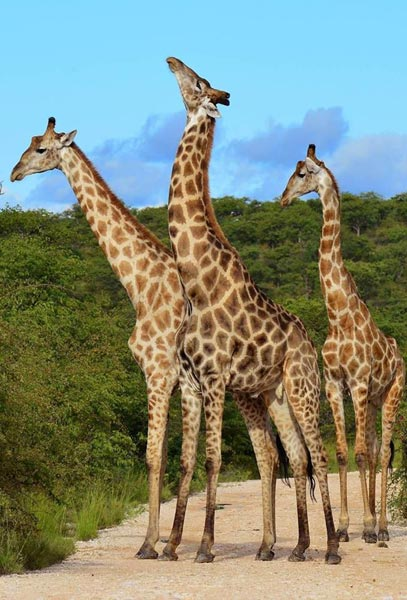 Giraffes in Akagera National Park