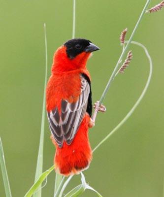 Birddwarching