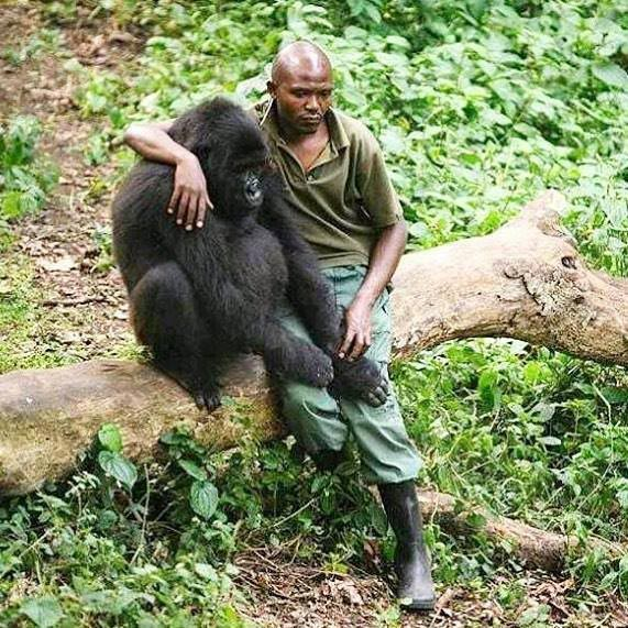 How we take care Gorillas