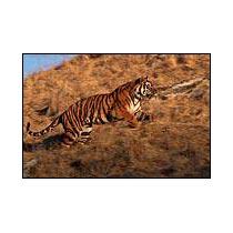Tiger Ranthambhore