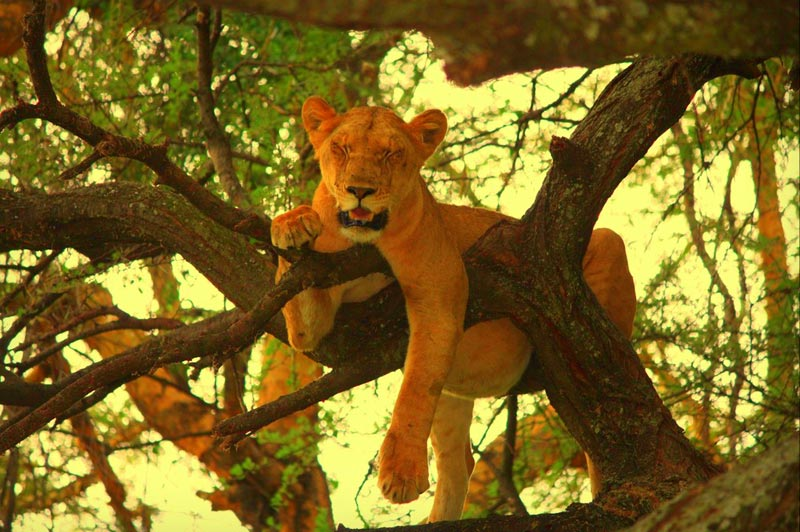 Tree Climbed lion