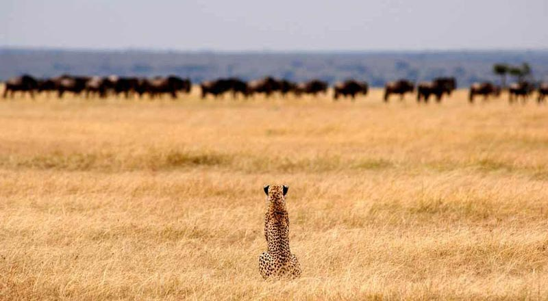 Cheetah with wildebeest