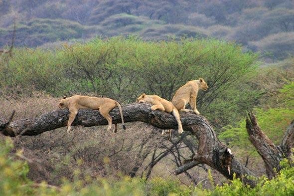 Tree climbed lion