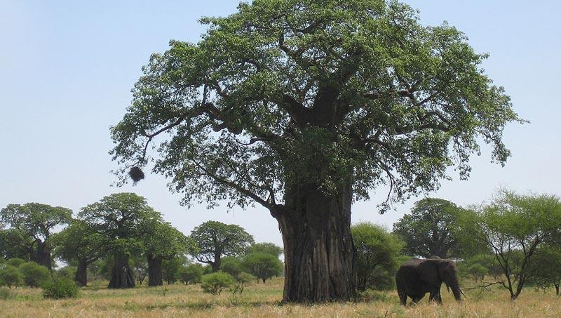 Elephant under baobab tree