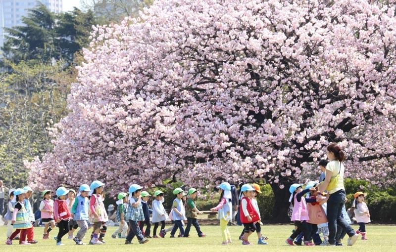Cheery Blossom full bloom