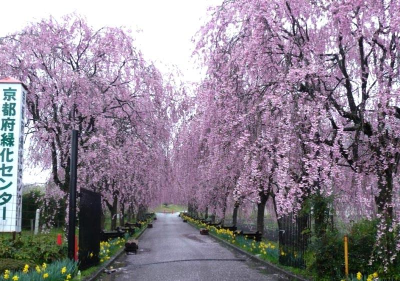 Kyoto cherry