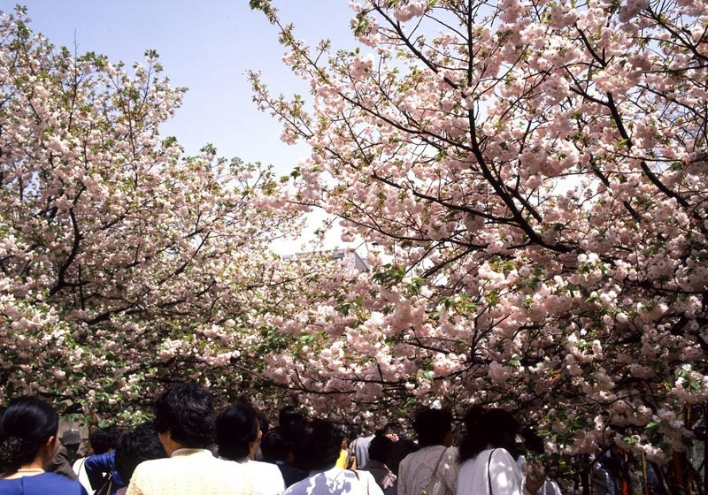 Osaka Cherry