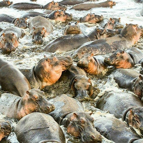 Hippo in selous