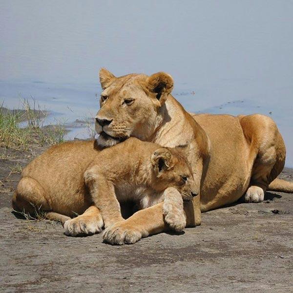 Lion in tarangire