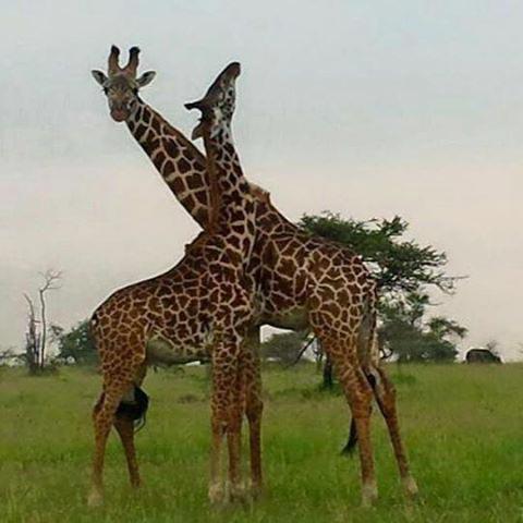 Giraffe in ngorongoro